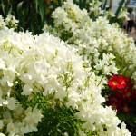 白く咲き誇る