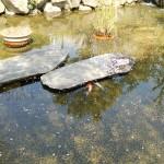恥ずかしがり屋の鯉