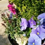 鉢植えの花達